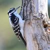 Hairy Woodpecker (F) Apr 19 2015