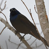 Common Grackle Apr 8 2015