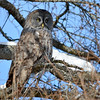 Great Gray Owl Feb 6 2015
