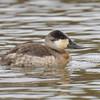 Ruddy Duck Oct 23 2015