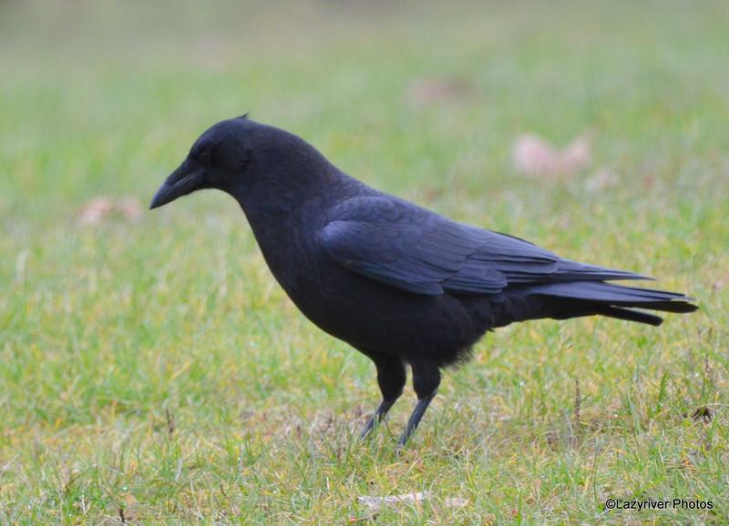 American Crow Nov 14 2015