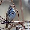 Song Sparrow Apr 3 2015