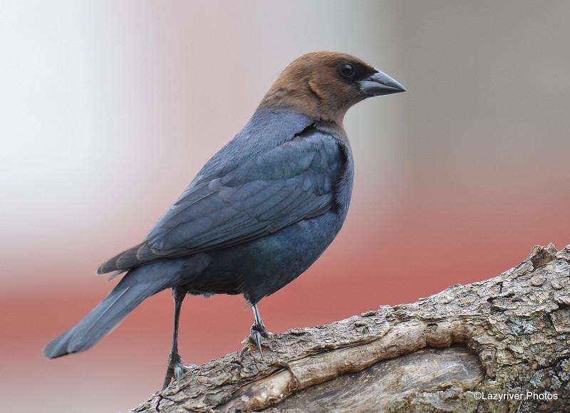 Brown-headed Cowbird (M) Apr 8 2015