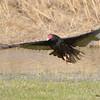 Turkey Vulture Apr 23 2015
