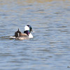 Bufflehead (M) May 1 2015