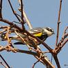 Yellow-rumped Warbler May 2 2015