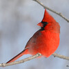 Northern Cardinal (M) Feb 6 2015
