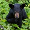 Image of June's female cub Aster taken July 2011. Aster was born in January 2011. Ursus americanus (American Black Bear).