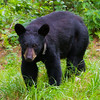 Image of Sharon taken July 2011. Sharon was born in 2010. Ursus americanus (American Black Bear).