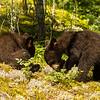 Image of Jewel's cubs Fern and Herbie foraging taken June 2012.  Jewel was born in 2009. Ursus americanus (American Black Bear).