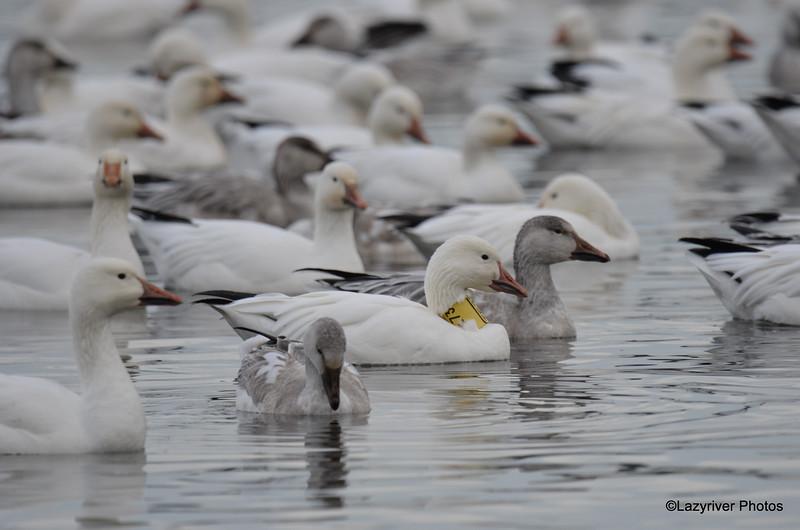 FSC_4624 Snow Geese Dec 1 2015