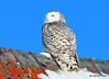DSC_0310 Snowy Owl Feb 1 2015