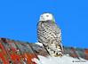 DSC_0307 Snowy Owl Feb 1 2015