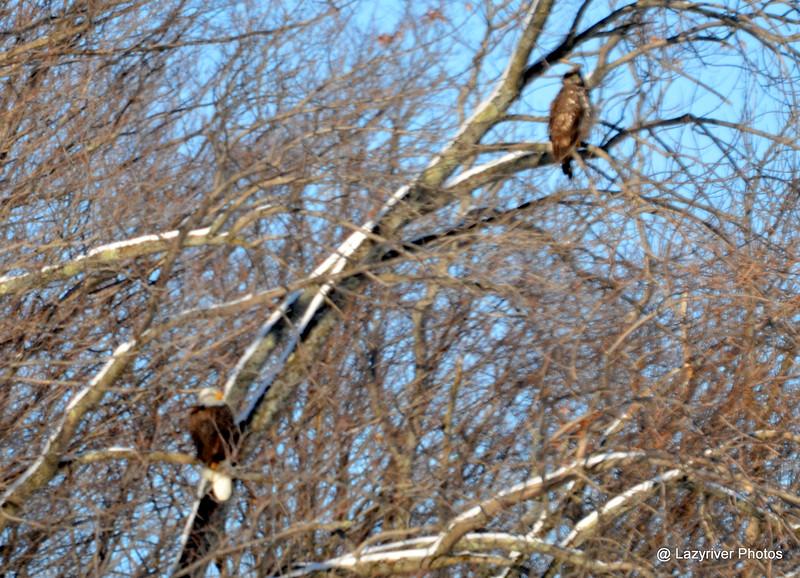 DSC_0290 Bald Eagle Feb 1 2015