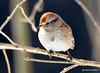 DSC_1531 American Tree Sparrow Feb 25 2015