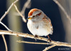 DSC_1531 American Tree Sparrow Feb 25 2015