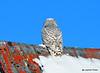 DSC_0304 Snowy Owl Feb 1 2015