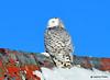 DSC_0305 Snowy Owl Feb 1 2015