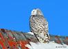 DSC_0308 Snowy Owl Feb 1 2015