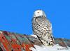 DSC_0309 Snowy Owl Feb 1 2015
