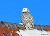 DSC_0306 Snowy Owl Feb 1 2015