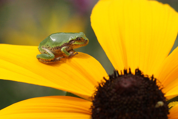 Cope's Gray Treefrog On Cornflower #7 (Hyla chrysoscelis)