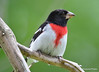 DSC_6694 Rose-breasted Grosbeak July 4 2015