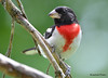 DSC_6696 Rose-breasted Grosbeak July 4 2015