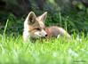 DSC_5250 Red Fox June 3 2015