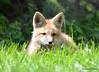 DSC_5255 Red Fox June 3 2015