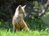 DSC_5256 Red Fox June 3 2015