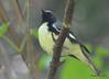 DSC_6196 Black-throated Blue Warbler June 19 2015