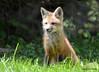DSC_5258 Red Fox June 3 2015