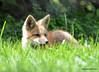 DSC_5253 Red Fox June 3 2015