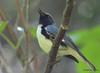 DSC_6197 Black-throated Blue Warbler June 19 2015