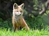 DSC_5261 Red Fox June 3 2015