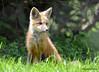 DSC_5257 Red Fox June 3 2015