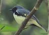 DSC_6199 Black-throated Blue Warbler June 19 2015