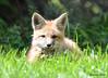 DSC_5254 Red Fox June 3 2015