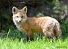 DSC_5249 Red Fox June 3 2015