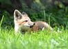 DSC_5251 Red Fox June 3 2015