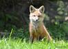 DSC_5260 Red Fox June 3 2015