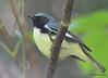 DSC_6195 Black-throated Blue Warbler June 19 2015