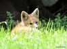 DSC_5244 Red Fox June 3 2015