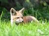 DSC_5252 Red Fox June 3 2015