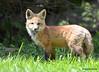 DSC_5247 Red Fox June 3 2015
