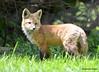 DSC_5246 Red Fox June 3 2015