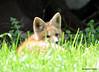 DSC_5245 Red Fox June 3 2015