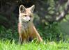 DSC_5259 Red Fox June 3 2015