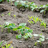 Crops begin to sprout at World Farmers in Lancaster. SENTINEL & ENTERPRISE / Ashley Green